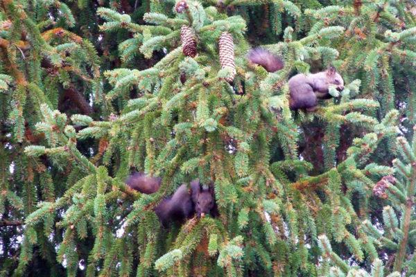 2 veveričky