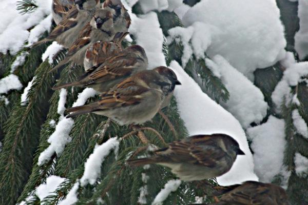 vrabčeky na konári